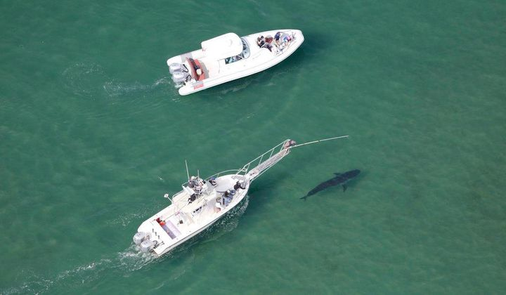 You Can Help Scientists Study Great White Sharks Off the Coast of Cape Cod