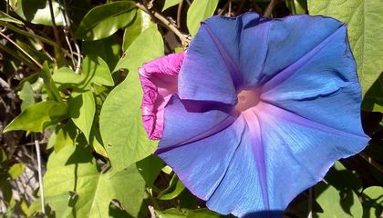 Why Morning Glories Could Survive Space Travel