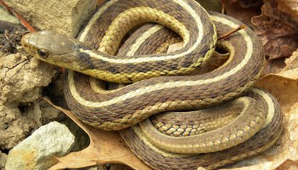 Cold-Blooded, but Not Cold-Hearted, Garter Snakes Form Friendships