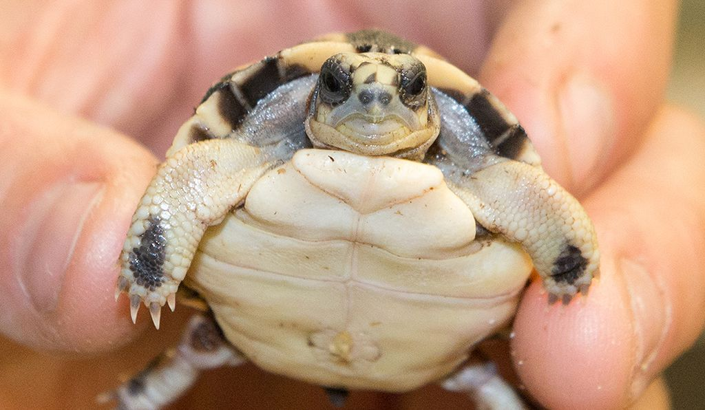 On May 10, 2015 at the National Zoo, a baby spider tortoise broke its way out of its shell, and the second one is expected any day.