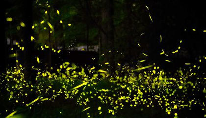 How Fireflies' Dramatic Light Show Might Spark Advances in Robot Communication