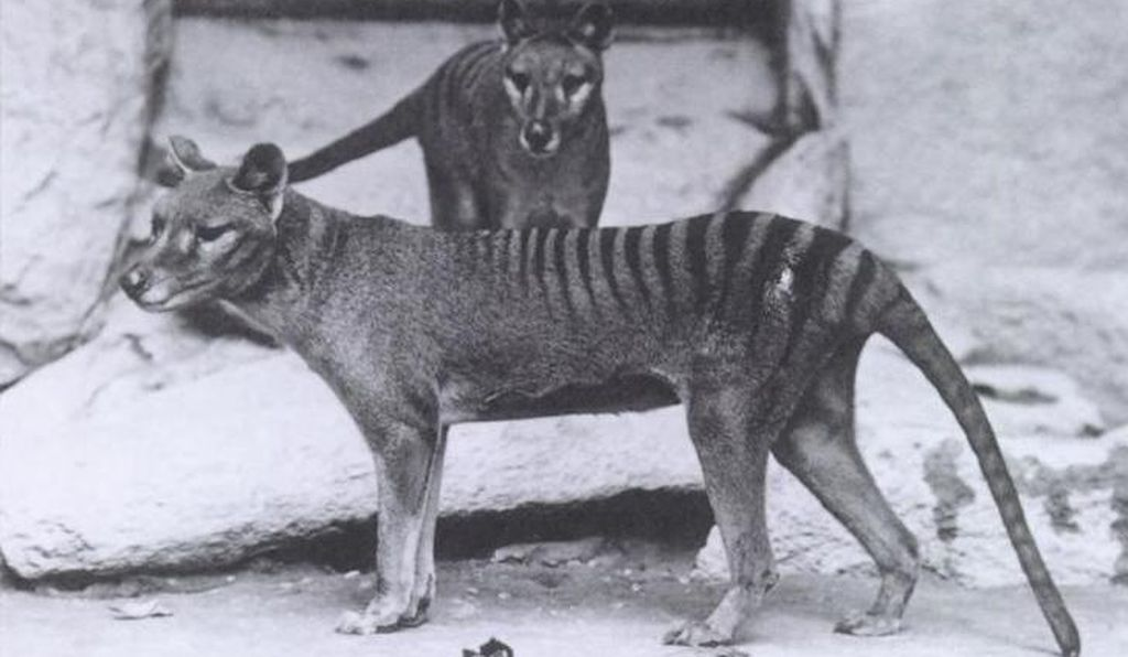 Tasmanian tigers at the National Zoo in Washington D.C., circa 1904.