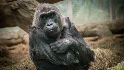 Colo, the World's First Gorilla Born in Captivity, Is Dead