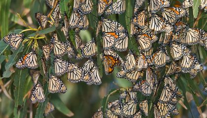 Mexican Police Raid Sawmills to Protect Monarch Butterfly Habitat