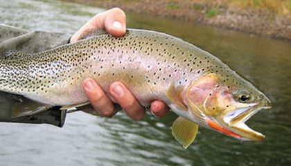 Native Trout Are Returning to America's Rivers | Science