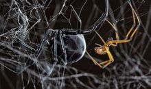 Male Black Widow Spiders Find Potential Mates by Following Other Suitors' Trails