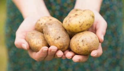 Image: Scientists make a better potato