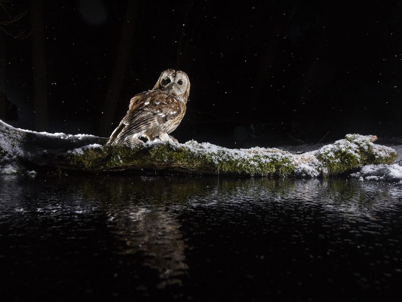 Tawny Owl hunting for prey, during the February snow fall, on the edge of a wood, East Yorkshire, UK. What looks like stars in the sky are snowflakes captured by the camera flash.