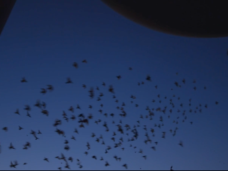 A Giant Flock Of Pigeons Is Lighting Up New York S Night Sky