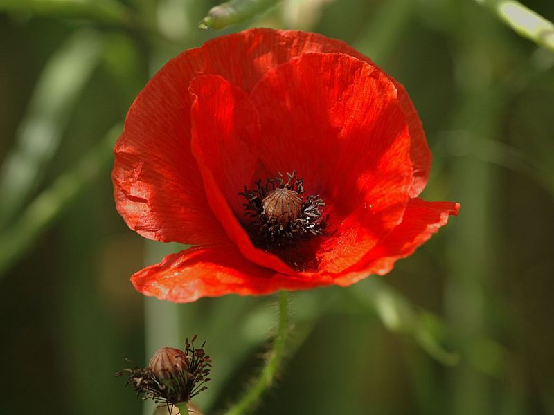 100 Years Ago Poppies Became More Than Just Flowers Smithsonian