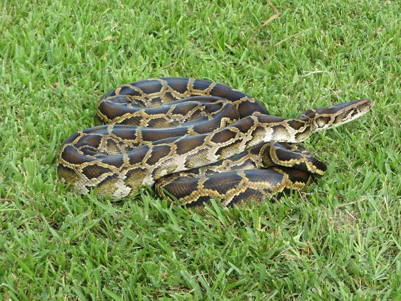 Newly Discovered Hybrid Pythons Are Threatening Floridas Wildlife