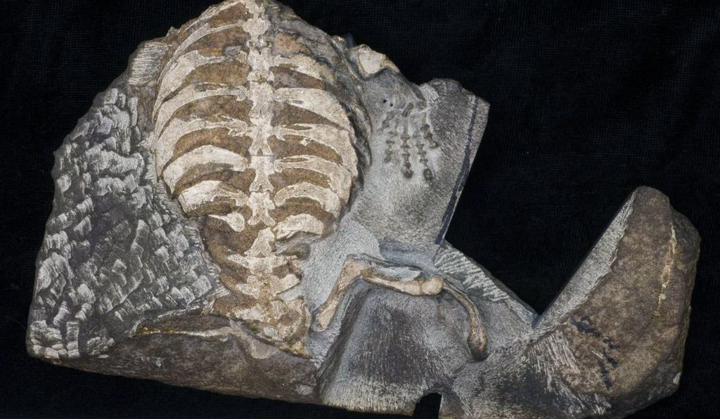 New research finds that the 260-million-year-old animal <em>Eunotosaurus,</em> with its broad and strongly curved ribs, is a distant precursor of the turtle.