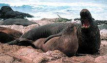 Elephant Seals, the Champion Divers of the Deep