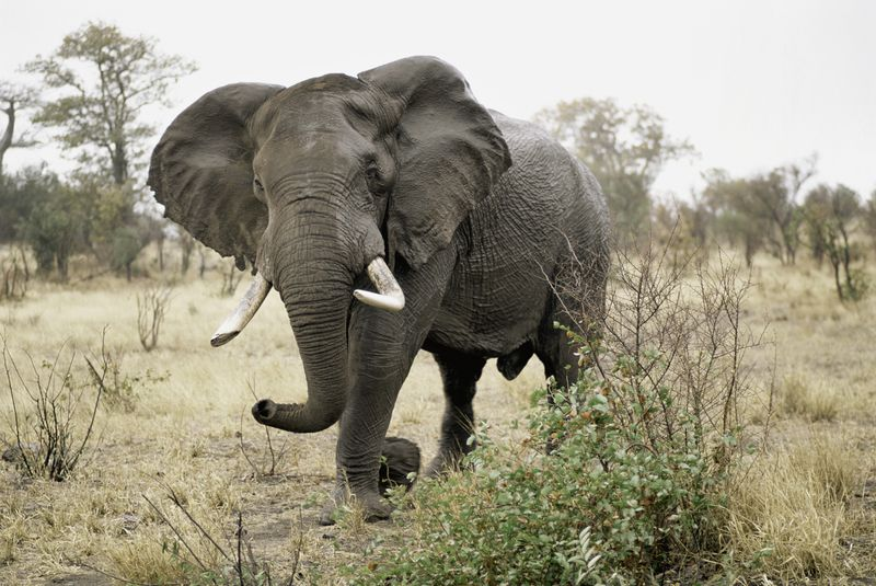14 Fun Facts About Elephants | Page 3 | Science | Smithsonian