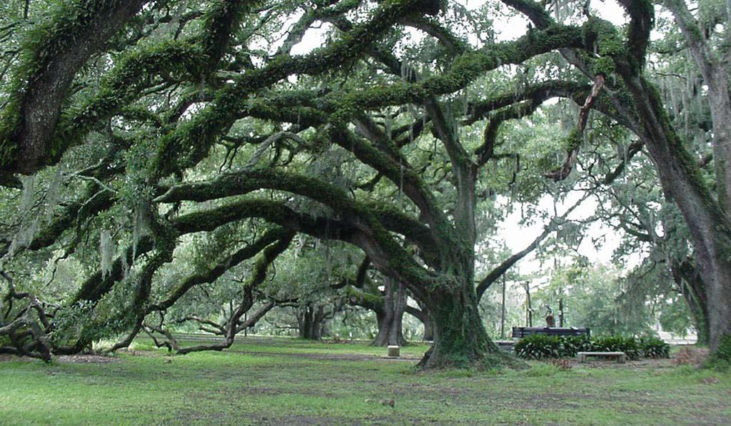 The Dueling Oaks in New Orleans' City Park