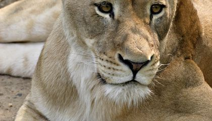 Lion Cub Dies at the National Zoo