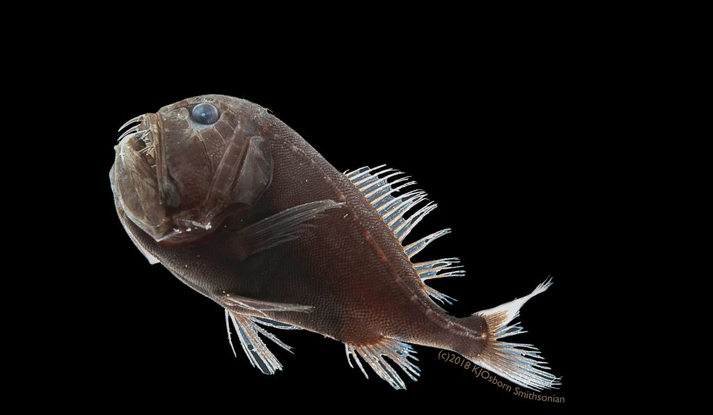 To be classified as ultra-black, the bar was high. Like the fangtooth (above), the researchers were looking for fish skin that reflected less than .5 percent of light across the visible spectrum.