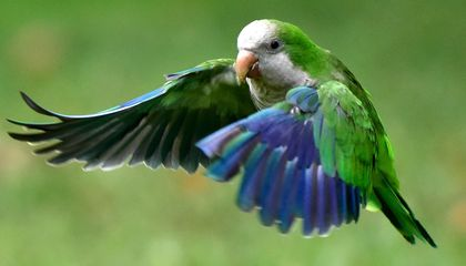 Escaped Pet Parrots Are Doing Great in the Wild