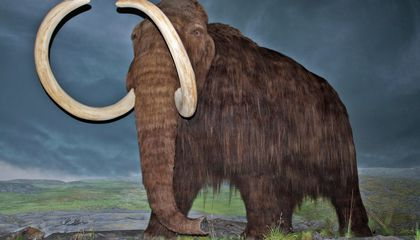 Genes of the Last Woolly Mammoths Were Riddled with Bad Mutations, Study Finds