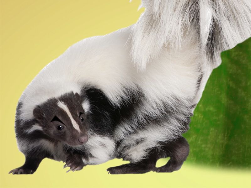 Ask Smithsonian What Makes Skunk Spray Smell So Terrible At the