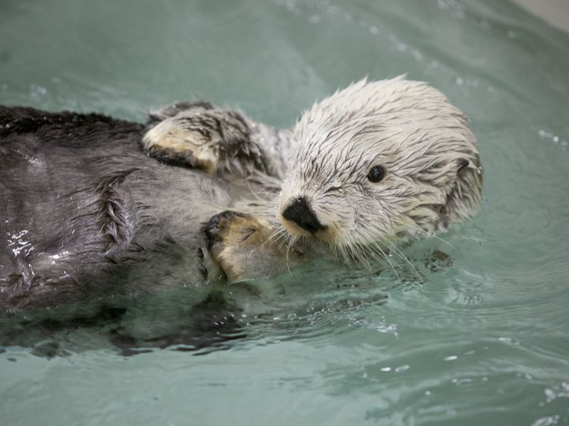 Kenai lived to be 23, much longer than the 15-18 years of a typical sea otter.
