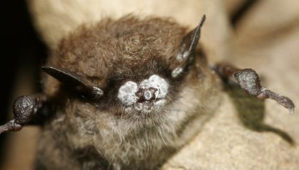 Smithsonian To Create First Ever Captive Population of Endangered Bat