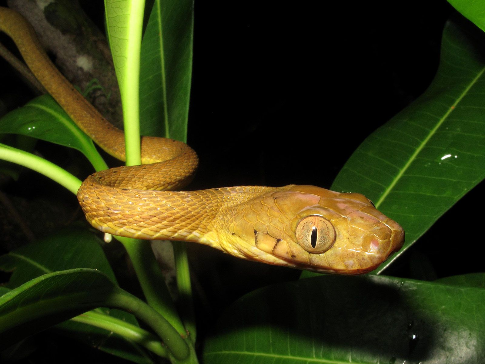 Invasive Brown Tree Snakes Stun Scientists With Amazing New Climbing Tactic
