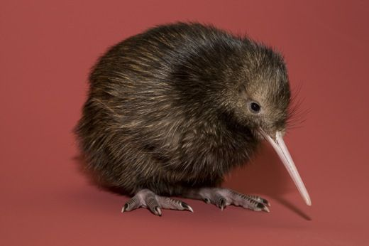 national zoo 39 s baby kiwi gets a name at the smithsonian smithsonian. Black Bedroom Furniture Sets. Home Design Ideas