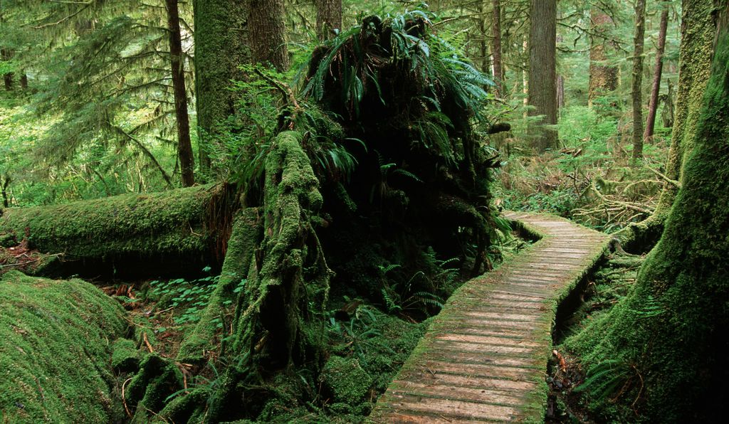 Cedar boardwalk through valley bottom with a (naturally) fallen tree, Carmanah Valley, Vancouver Island, British Columbia, Canada.