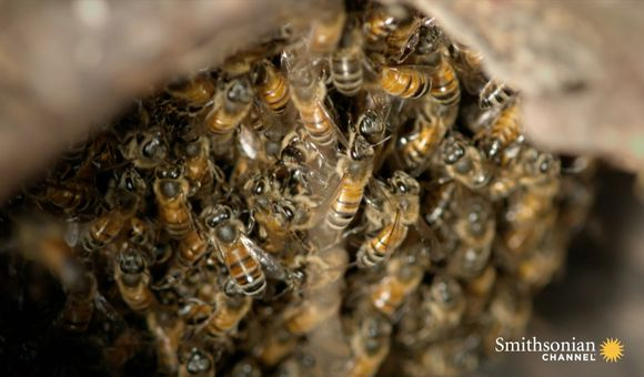 Preview thumbnail for video'Why Puerto Rico's Killer Bees Stopped Killing