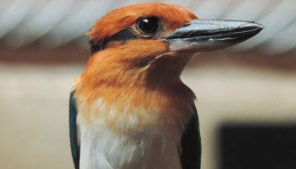 Female Guam kingfisher Giha at the Smithsonian Conservation Biology Institute. Guam kingfishers are extinct in the wild, but scientists are working to change that by breeding the species for release in the near future.