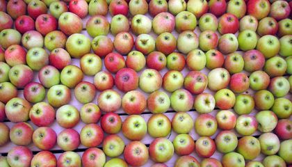 To Save the Apples We Love Today, We Need to Save Their Ancient Ancestors