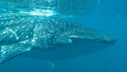 What the Longest Known Whale Shark Migration Ever Tells Us About Conservation