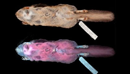 Flying Squirrels Glow Fluorescent Pink Under Ultraviolet Light