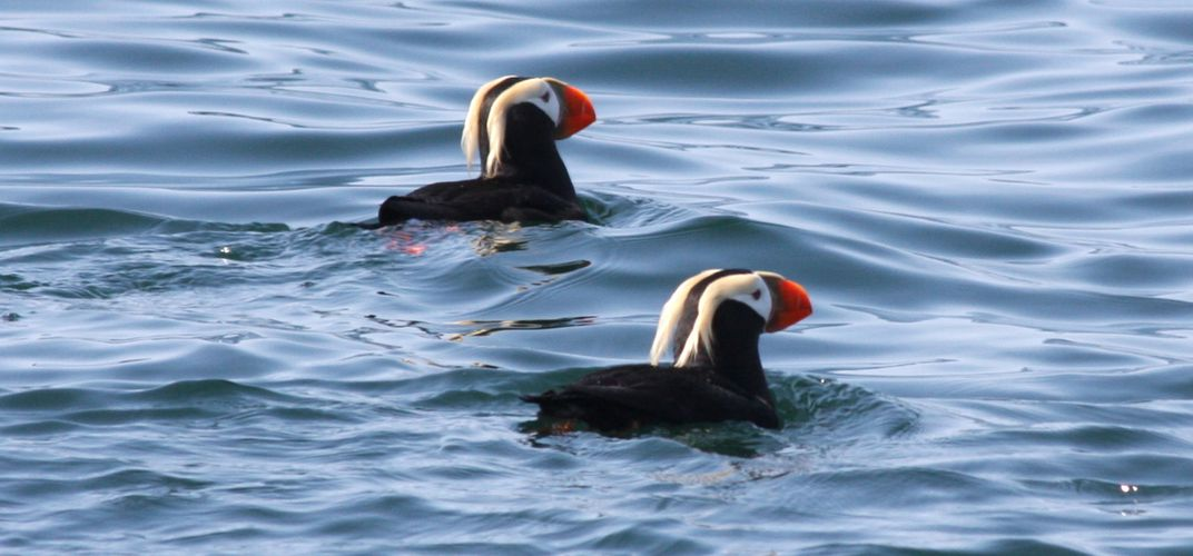 Puffins in the waters of Kenai Fjords National Park