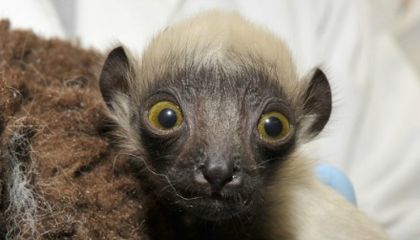 Lemurs Are the Most Endangered Mammals on the Planet, And This Adorable Baby Is Their Future