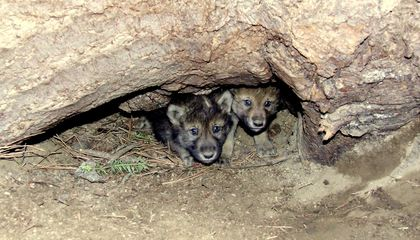 Gray Wolf Pups Seen in Colorado for the First Time in 80 Years