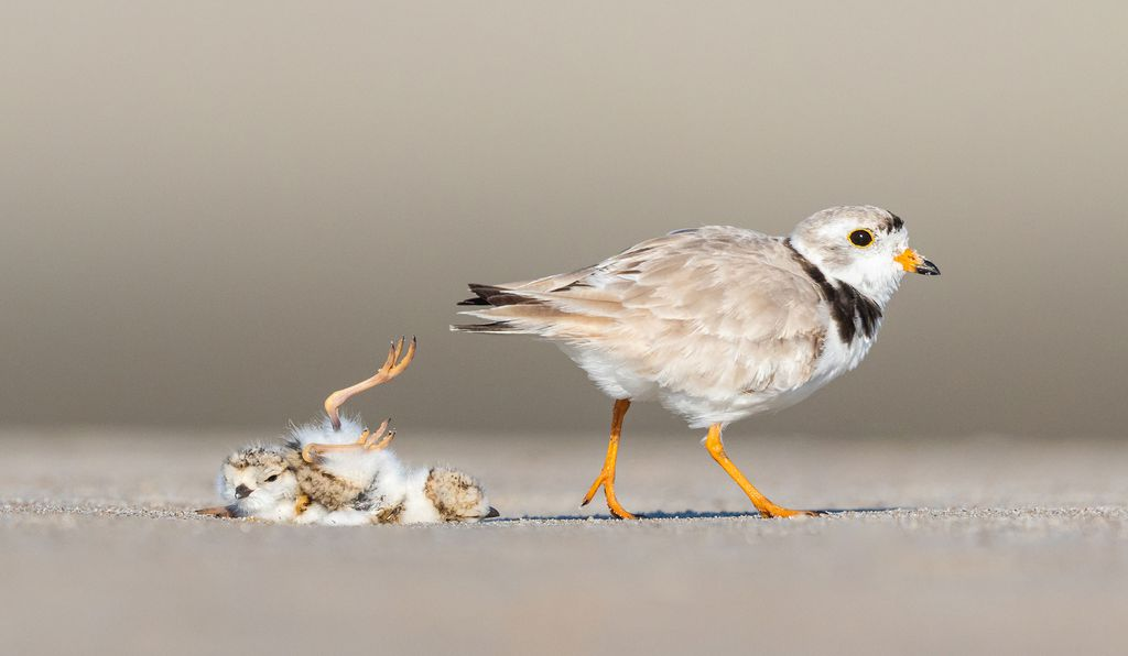 A piping plover leaves its baby.