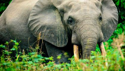 How Humans Benefit From a Highway of Trails Created by African Forest Elephants