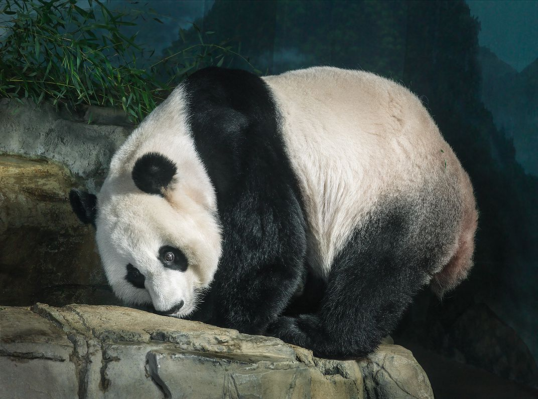 What Food Makes Up  Of A Giant Panda S Diet