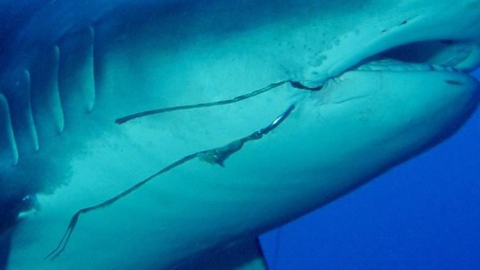 Fishing Hooks Pose a Long-Term Threat to Tiger Sharks