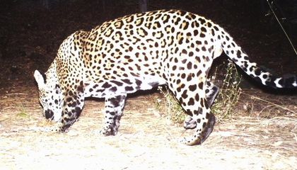 America's Only Known Jaguar May Not Be Alone Anymore