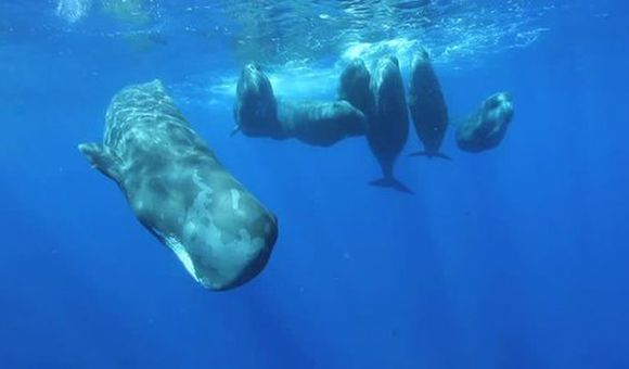 Preview thumbnail for video'The Sounds of the Sperm Whale