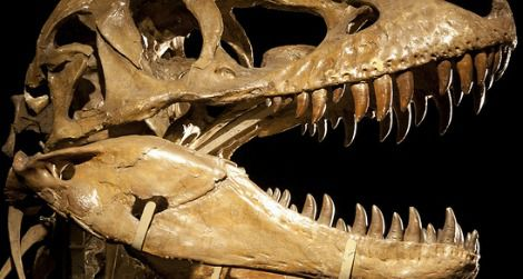 The skull of Tarbosaurus