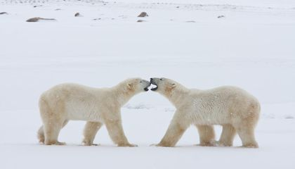 An Incredibly Tough Polar Bear Adventure