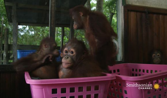 Preview thumbnail for video'How This School Prepares Orphan Orangutans for the Wild