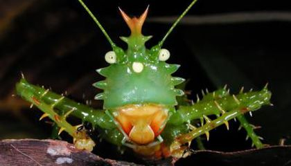 Picture of the Week—Spike-headed Katydid