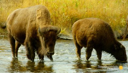 Why the U.S. Army Guarded the 23 Remaining American Buffalo