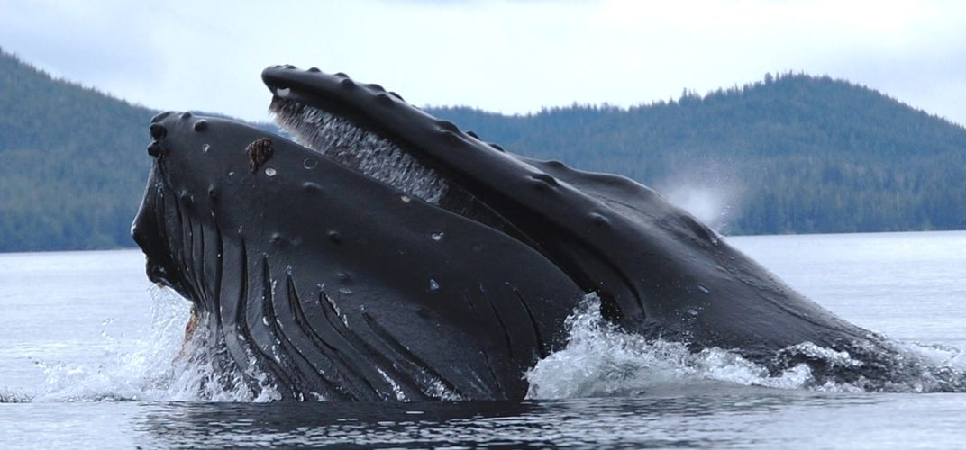 Caption: A Cape Cod Lobster Diver Was Swallowed by a Whale