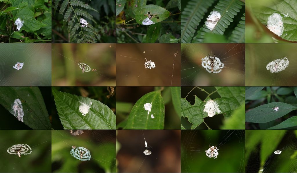 A composite image of spiders on their webs (second and fourth rows) with nearby examples of bird droppings (first and third rows).